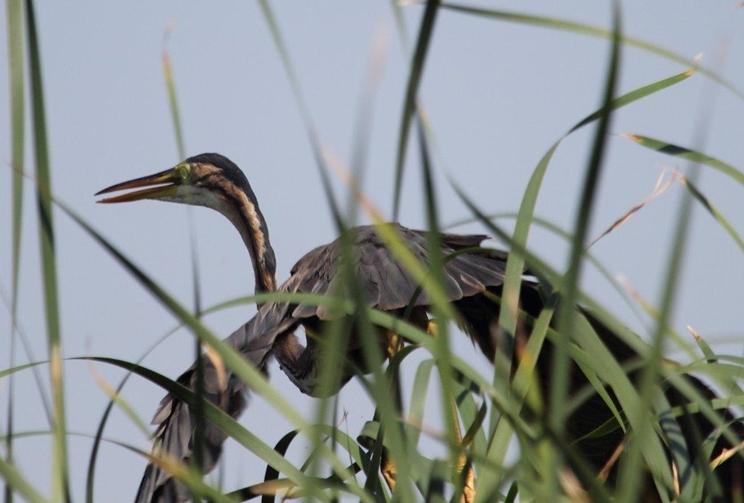 El aumento de la población de jabalí amenaza a las aves de la Mancha Húmeda