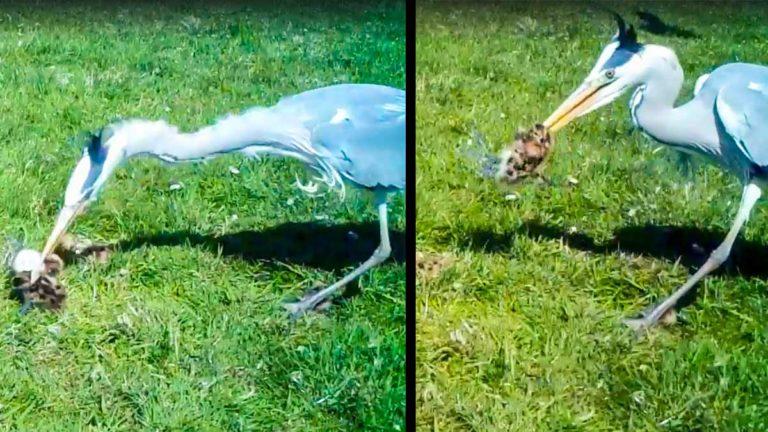 Garza comiendo los polluelos. /Facebook