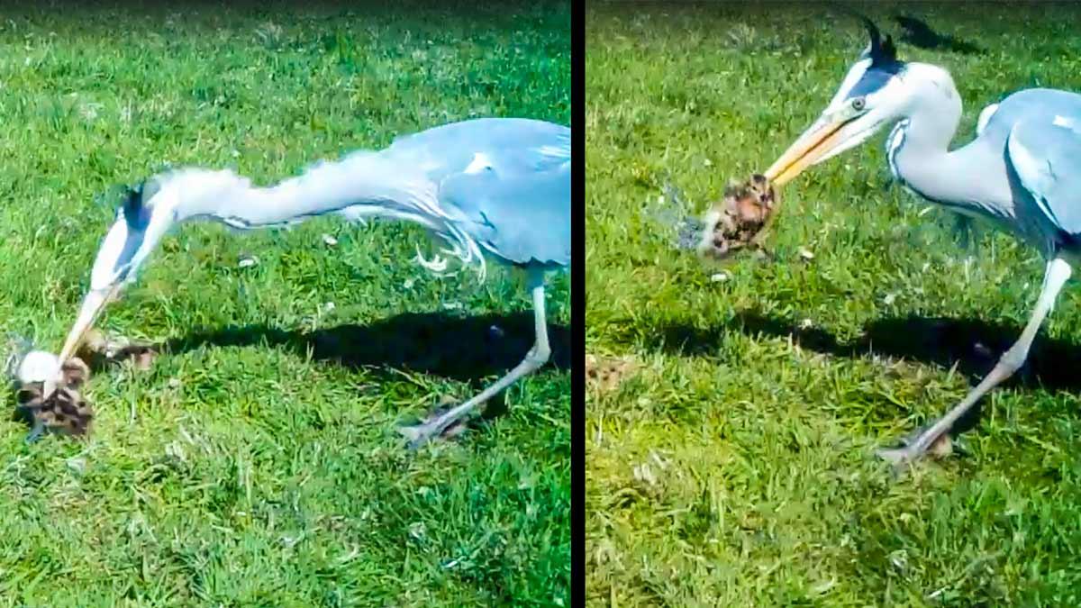 Graban a un garza dando caza y engullendo a varios polluelos