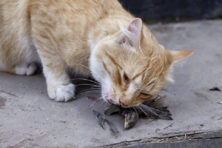 Los gatos callejeros amenazan las poblaciones de vencejo