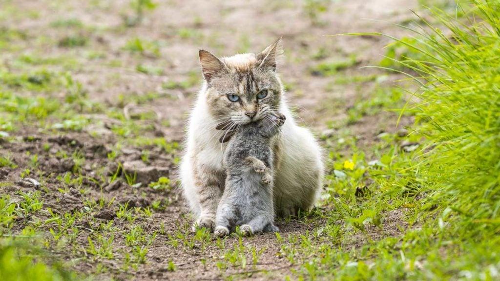 Un gato, tras cazar un conejo. ©Shuttestock