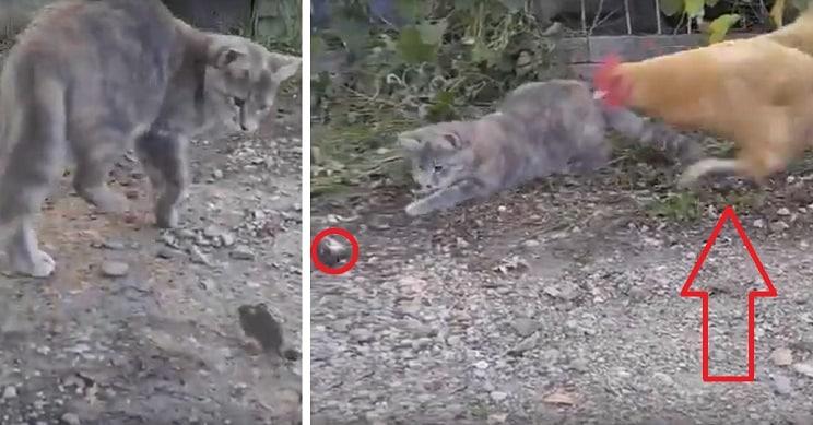 Este gato es incapaz de cazar un ratón pero entonces aparece esta gallina