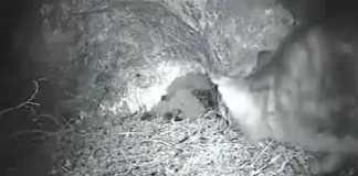 gato preda nido halcon peregrino