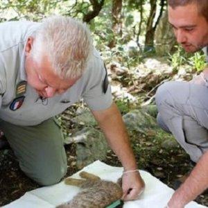 Descubren el 'gato zorro', una nueva subespecie de felino