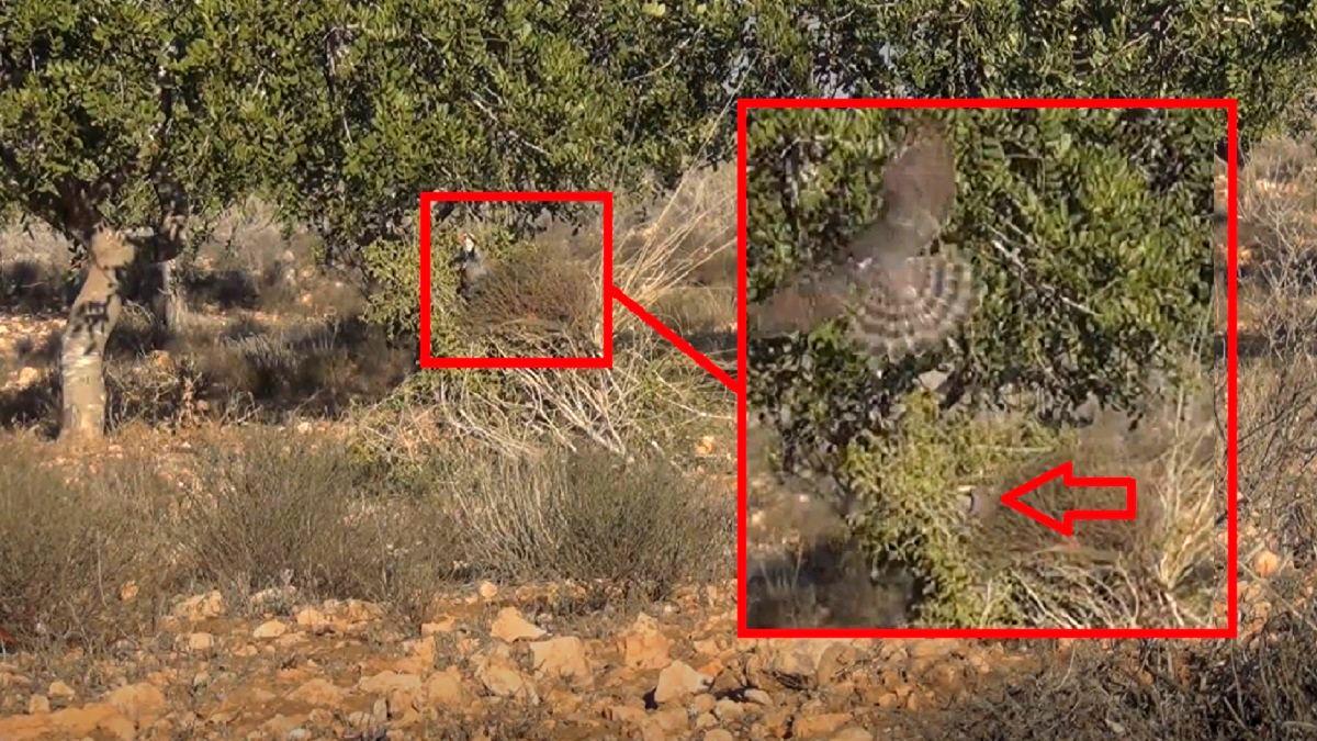 Un gavilán intenta matar al reclamo de perdiz de un cazador