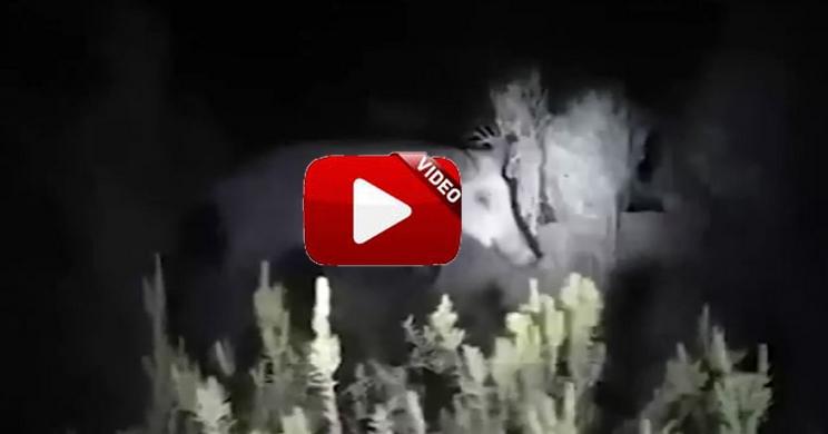 Esta es la extraña reacción de un jabalí tras una espera nocturna