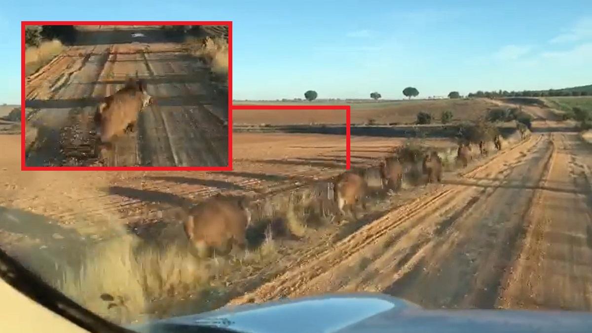 Graba una piara de jabalíes para su amigo cazador en un vídeo con desternillantes comentarios