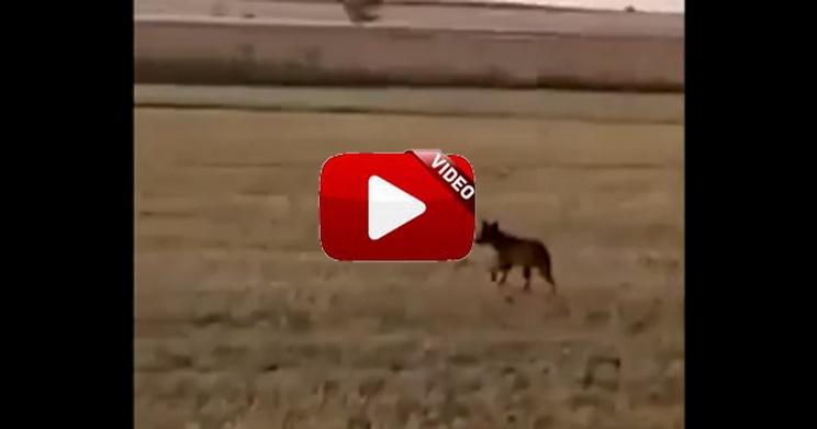 Dos lobos cruzan a escasos metros de un agricultor y lo graba con el móvil