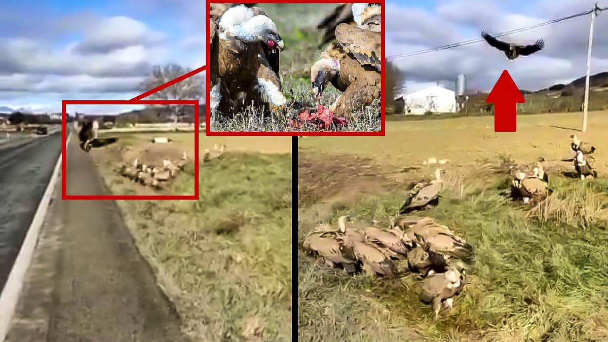 Graban decenas de buitres devorando un corzo junto a un pueblo