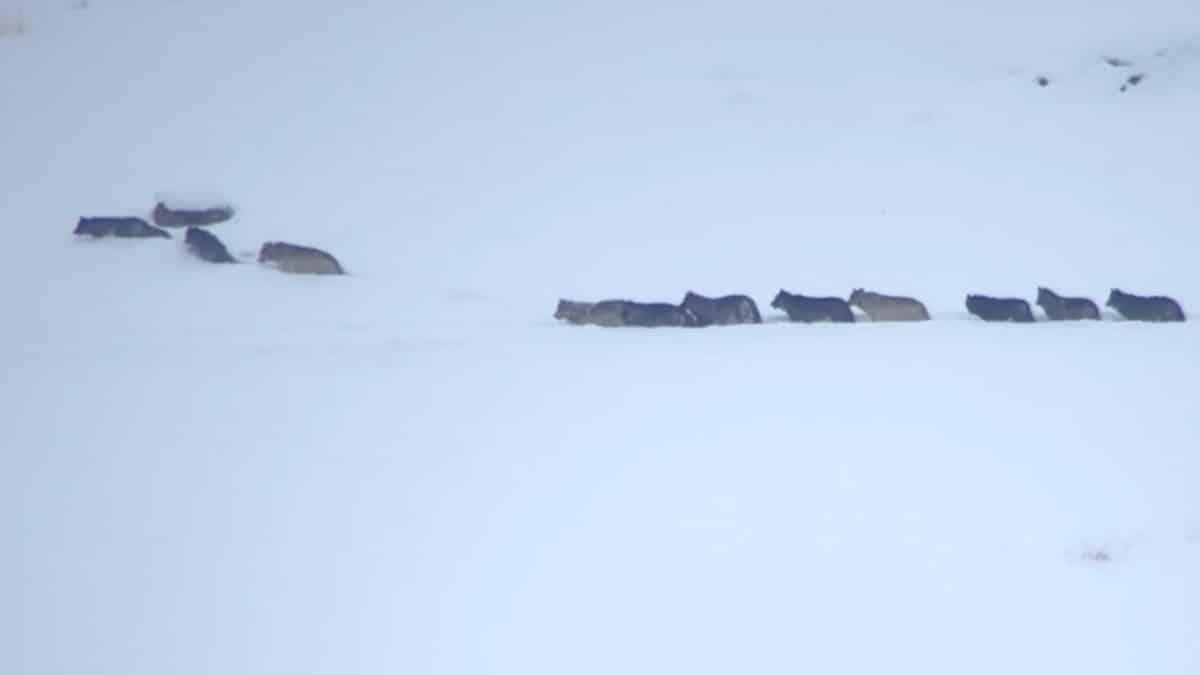 Graban el espectacular ataque de once lobos a cinco ciervos