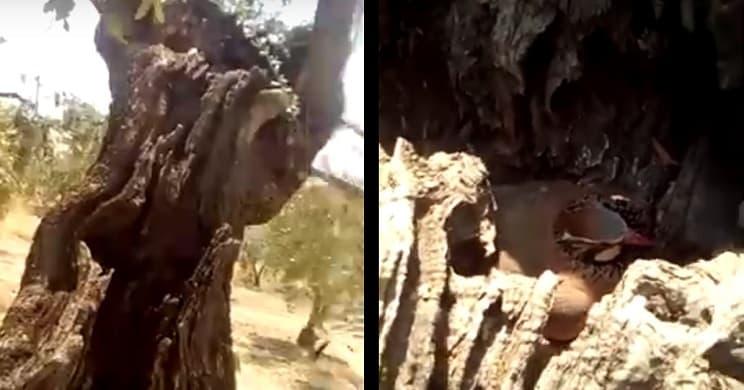 Un perdiz hace su nido sobre un olivo