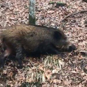 El Ministerio formará a 200 cazadores para frenar la PPA si llegase a España