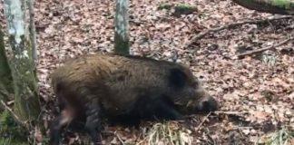 graban primer jabali con peste porcina africana