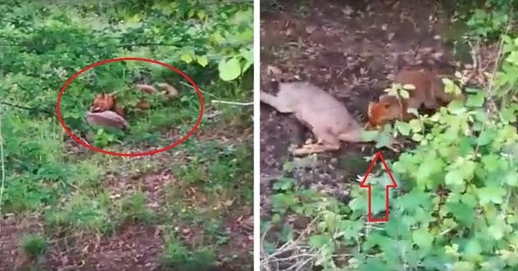 Graban a un zorro atacando a una corza adulta y el vídeo se hace viral