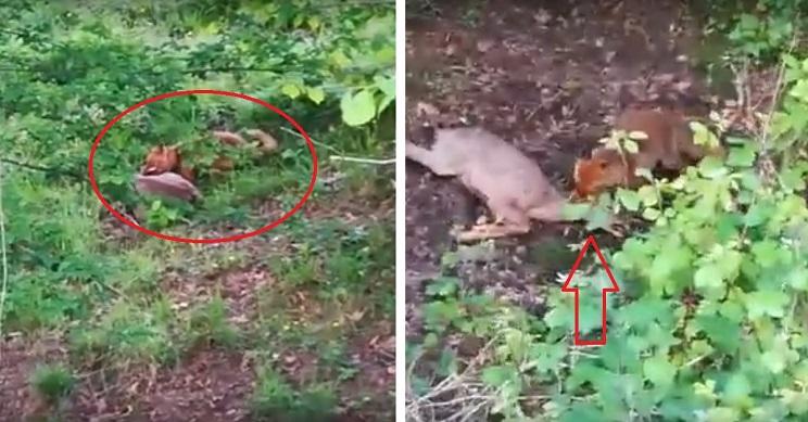 graban zorro atacando corza