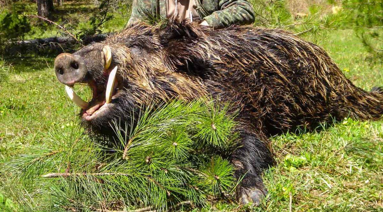 Cinco maneras de cazar un  gran jabalí
