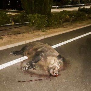 Este gran jabalí, que es el sueño de cualquier cazador, muere atropellado en Cáceres