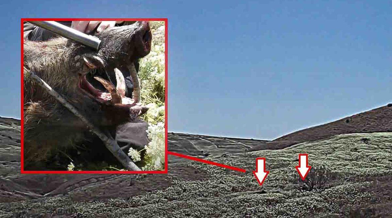 Un cazador dispara en el último momento a un jabalí de enormes colmillos