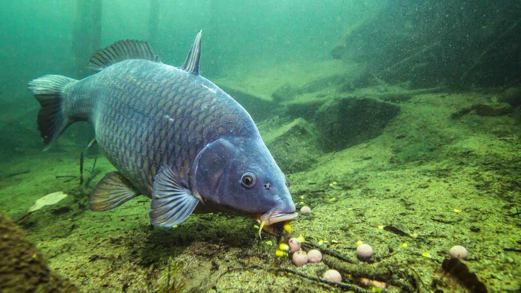 Una carpa come en un cebadero. ©Shutterstock