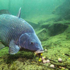 Consejos para pescar grandes carpas y barbos en primavera