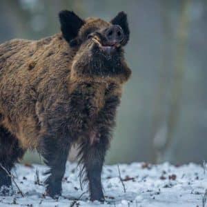 9 trucos para cazar grandes jabalíes en celo