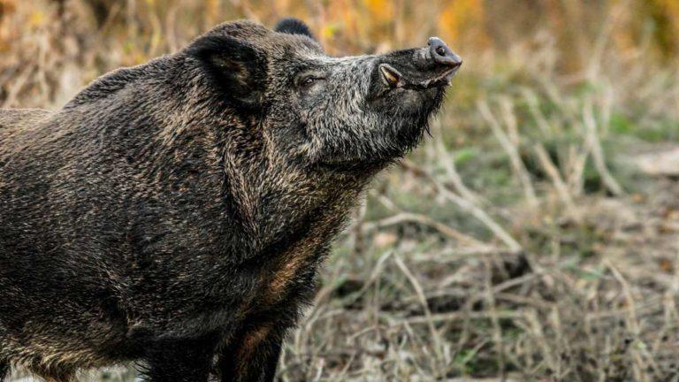 Los grandes jabalíes suelen ser los reyes del escapismo en las monterías. © Shutterstock