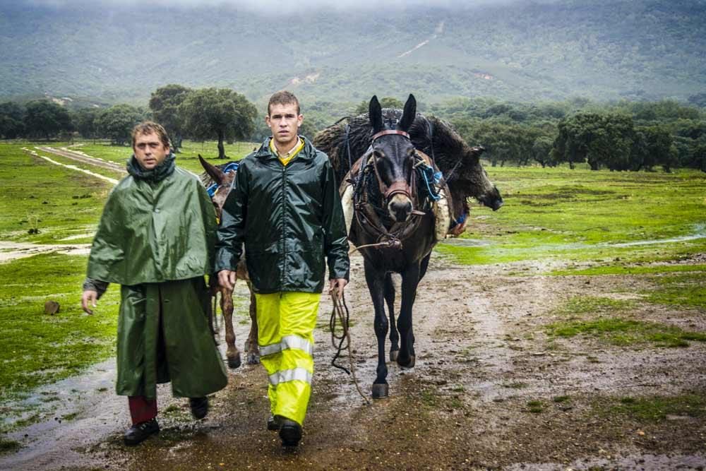 Dos muleros recogiendo un gran jabalí abatido por los rehaleros. © Innova Ediciones