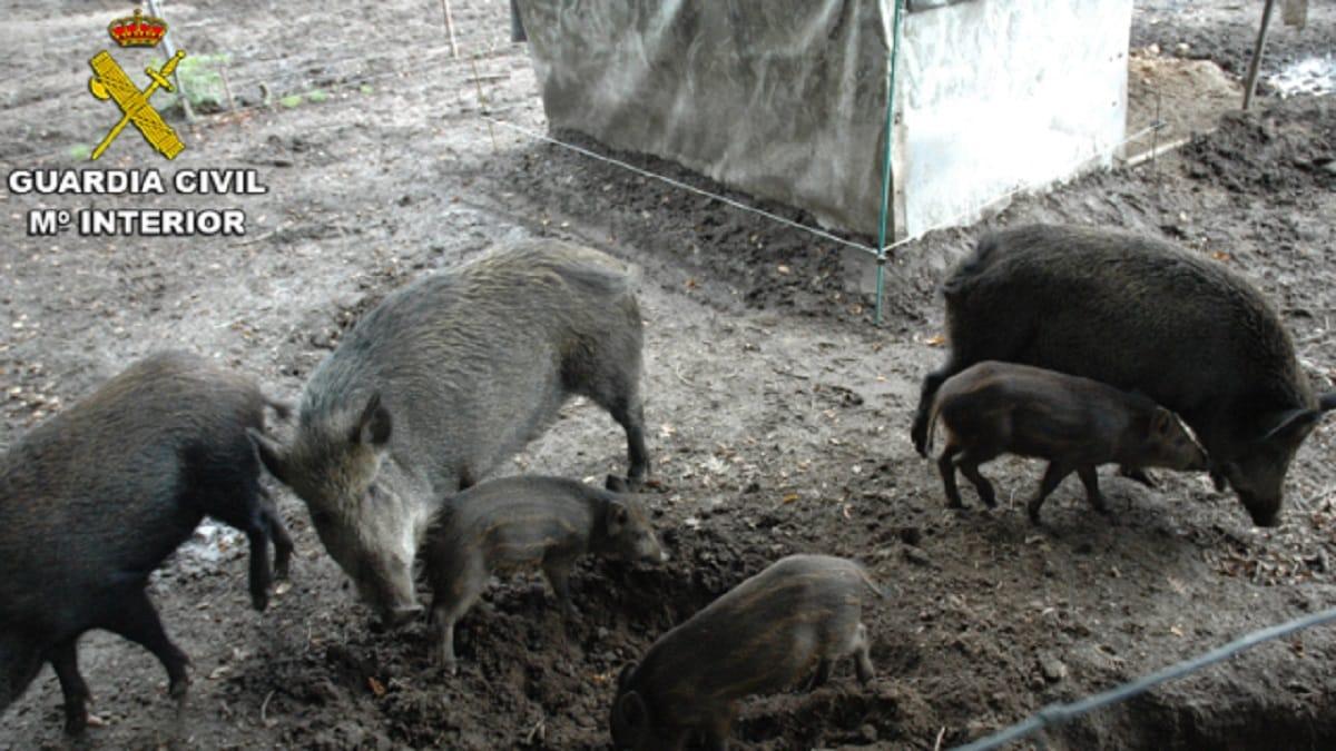 Descubren una granja ilegal que cruzaba jabalíes con cerdos en Pontevedra