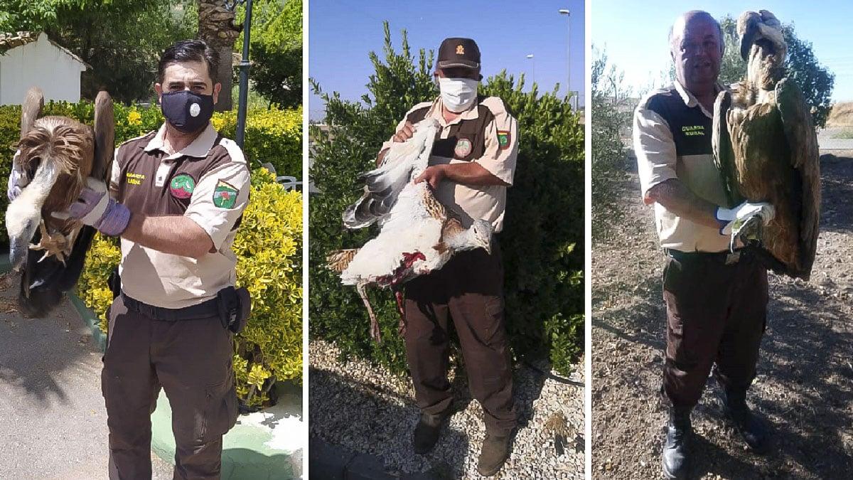 Los guardas de caza de varios cotos salvan a dos buitres y una avutarda