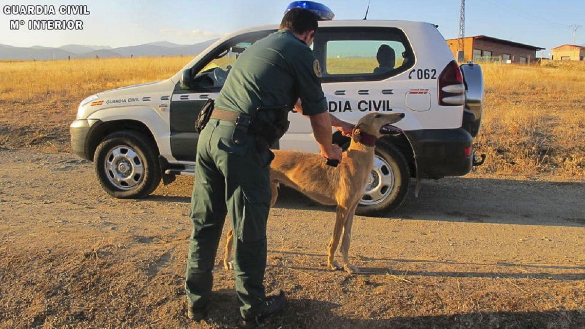 'Cazan' a una cuadrilla en Segovia furtiveando liebres con galgos un martes, sin autorización y sin seguro