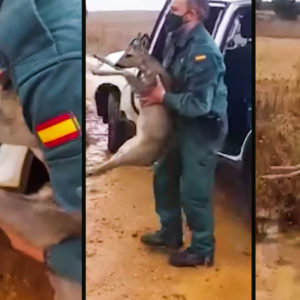 La Guardia Civil los pilla con un corzo vivo dentro del coche en Zamora y lo liberan