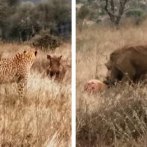 Graban a una piara de jabalíes berrugosos robándole la caza a un guepardo