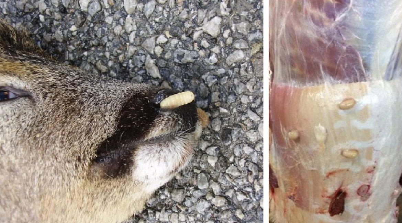 Así son los gusanos del corzo y así pueden afectar a los ejemplares de tu coto de caza