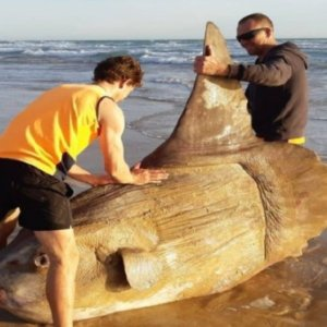Dos pescadores encuentran un descomunal pez luna varado en una playa