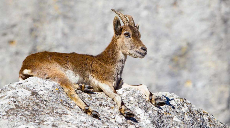 Artemisan desarrollará un estudio científico para garantizar la caza y conservación de la cabra montés