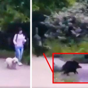 Una enorme hembra de jabalí amaga con atacar a una mujer y su perro