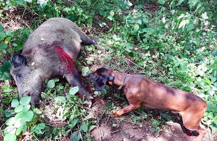 herido de gravedad conductor perros de sangre jabali