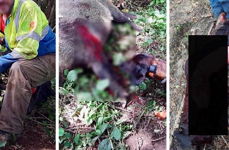 Herido de gravedad un conductor de perros de sangre tras ser atacado por un jabalí