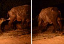 hiena arranca testiculos bufalo