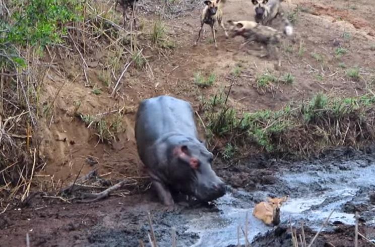 Perros salvajes rodean a un antílope y aparece este hipopótamo en escena