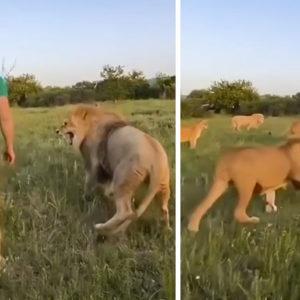 Un hombre se mete en mitad de una pelea de leones y los separa a zapatillazos