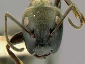 hormigas-zombies