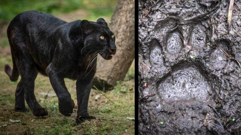 A la izquierda, pantera. A la derecha, una huella de este felino.