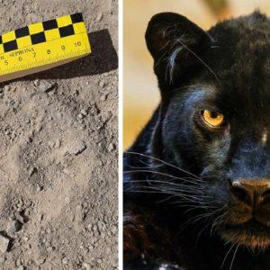 «Las huellas halladas en Granada son de puma, jaguar o pantera», asegura el experto que las examinó