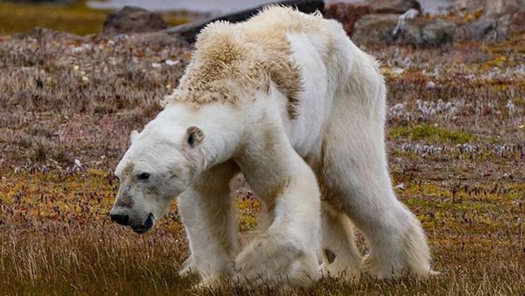 Oso polar desnutrido / Fotografía: Instagram @cristinamittermeier