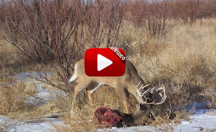 Encuentran un ciervo con su cuerna enredada en la de otro ¡comido por depredadores!