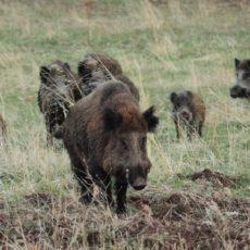 Un estudio demuestra que la caza con perros es esencial para el control del jabalí