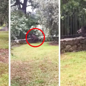 Un jabalí intenta cruzar entre dos rejas y queda atrapado por su cabeza