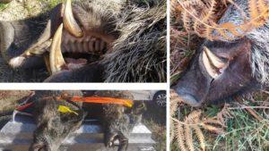 Cazan dos enormes jabalíes de más de 120 kilos «que compartían el mismo encame»