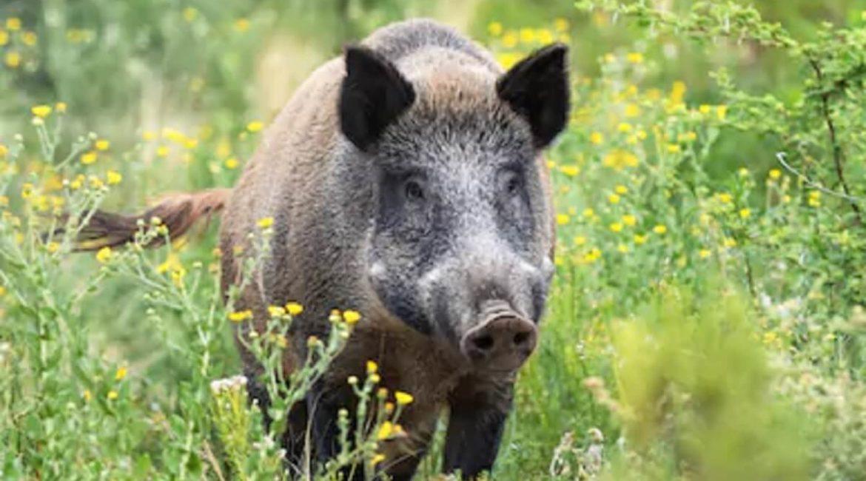 El jabalí perjudica a la vegetación y la biodiversidad de las áreas protegidas, según un estudio